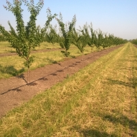 drip irrigation of apricot