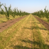 Apricot orchard with irrigation